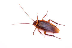 Cucaracha muerta