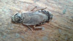 Cucaracha muerta Imagen de archivo