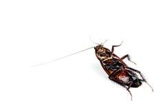 Cucaracha muerta aislada en blanco Imagen de archivo