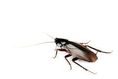 Cucaracha muerta aislada en blanco Foto de archivo libre de regalías