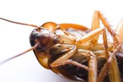 Cucaracha peligrosa Fotografía de archivo