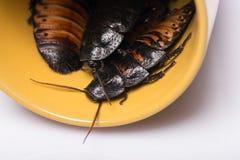 Cucaracha que silba de Madagascar en el fondo blanco Foto de archivo