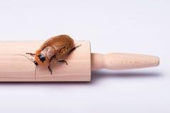 Cucaracha que silba de Madagascar en el fondo blanco Foto de archivo libre de regalías