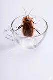 Cucaracha que silba de Madagascar en el fondo blanco Fotografía de archivo libre de regalías