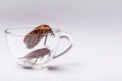 Cucaracha que silba de Madagascar en el fondo blanco Fotos de archivo libres de regalías