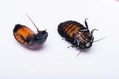Cucaracha que silba de Madagascar en el fondo blanco Fotos de archivo