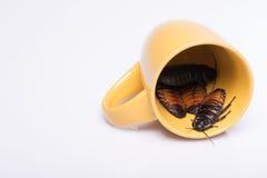 Cucaracha que silba de Madagascar en el fondo blanco Fotografía de archivo