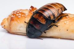 Cucaracha que silba de Madagascar en el fondo blanco Imágenes de archivo libres de regalías