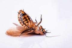 Cucaracha que silba de Madagascar en el fondo blanco Imagenes de archivo