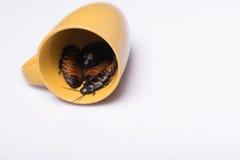 Cucaracha que silba de Madagascar en el fondo blanco Imagen de archivo libre de regalías