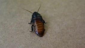 Cucaracha que silba grande en una superficie de madera almacen de metraje de vídeo