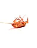 Cucaracha volcada Fotografía de archivo