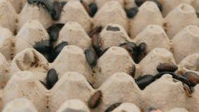 Cucarachas de Madagascar de diverso primer de los tamaños en terrario almacen de metraje de vídeo