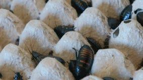 Cucarachas de Madagascar de diverso primer de los tamaños en terrario almacen de video