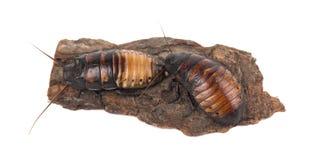 Cucarachas de Madagascar en la corteza de árbol aislada en el fondo blanco imágenes de archivo libres de regalías