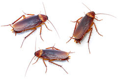 Cucarachas en el fondo blanco imágenes de archivo libres de regalías
