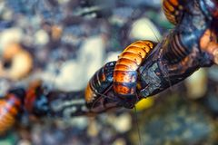 Cucarachas grandes de Madagascar imágenes de archivo libres de regalías