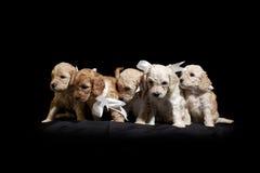 Cuccioli Fotografie Stock