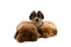 Cuccioli Immagini Stock