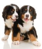 Cuccioli fotografie stock libere da diritti