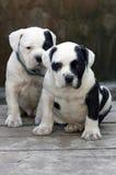 Cuccioli Immagini Stock Libere da Diritti
