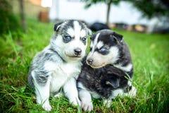 Cuccioli abbastanza piccoli del husky all'aperto nel giardino Immagine Stock Libera da Diritti