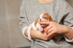 Cuccioli americani del bulldog nelle armi di una ragazza fotografia stock libera da diritti