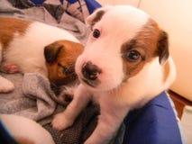 Cuccioli appena nati Fotografia Stock