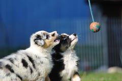 Cuccioli australiani del pastore australiano nel gioco immagine stock
