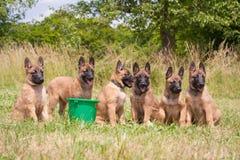 Cuccioli belgi del pastore Fotografie Stock Libere da Diritti
