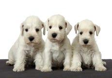 Cuccioli bianchi Fotografia Stock Libera da Diritti