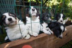 Cuccioli - border collie Fotografie Stock
