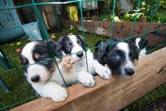 Cuccioli - border collie Fotografia Stock