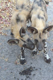 Cuccioli Botswana Tom Wurl del cane selvaggio Immagini Stock Libere da Diritti