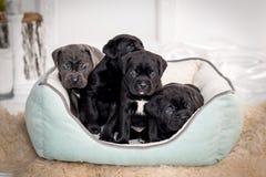 Cuccioli Cane Corso nello strato Fotografia Stock Libera da Diritti