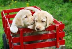 Cuccioli in carrello rosso Fotografia Stock Libera da Diritti