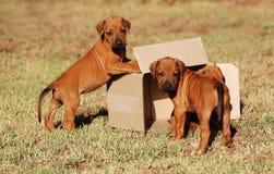 Cuccioli che giocano con la casella Immagini Stock