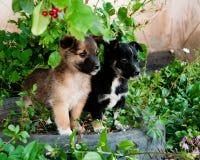 Cuccioli che guardano in avanti Immagine Stock