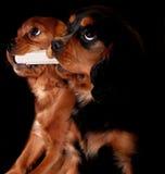 Cuccioli con un osso Fotografie Stock