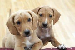 Cuccioli curiosi Fotografie Stock