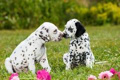 Cuccioli dalmata Fotografia Stock