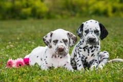 Cuccioli dalmata Fotografia Stock Libera da Diritti