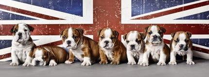 Cuccioli del bulldog Fotografie Stock