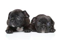Cuccioli del bulldog francese Immagine Stock Libera da Diritti