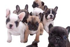 Cuccioli del bulldog francese immagini stock