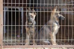 Cuccioli del cane del cane pastore Fotografie Stock