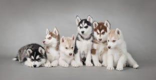 Cuccioli del cane del husky fotografia stock