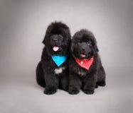 Cuccioli del cane della Terranova Fotografie Stock