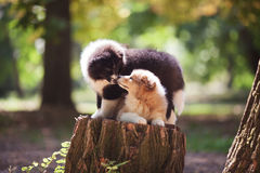 Cuccioli del cane delle collie Immagini Stock