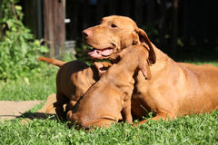 Cuccioli del cane indicante dai capelli corti ungherese fotografie stock libere da diritti